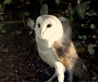 Barn Owl - fleeting visit
