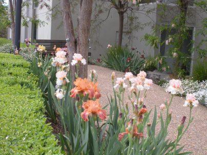 Iris border - Spring 2011