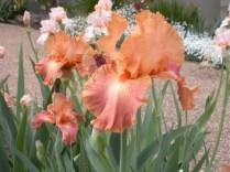 Iris close-up - Spring 2011