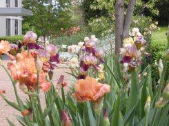 Irises - Spring 2011