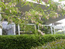 Robinia - Spring 2011