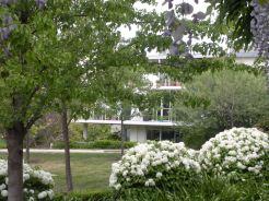 Guelder Rose - Spring 2011