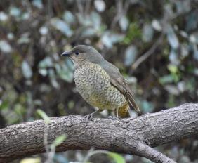 Female Bowerbird