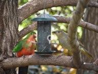 King Parrot & Bowerbird
