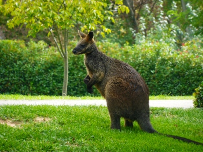Landmark Wallaby