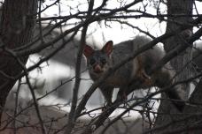 Resident possum