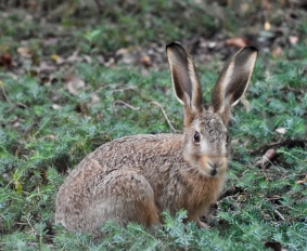 Landmark Hare