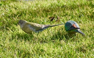 Red-Rumped Parrots (pair)